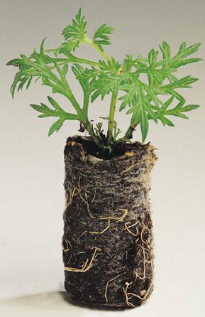 Комнатные растения гусмания уход